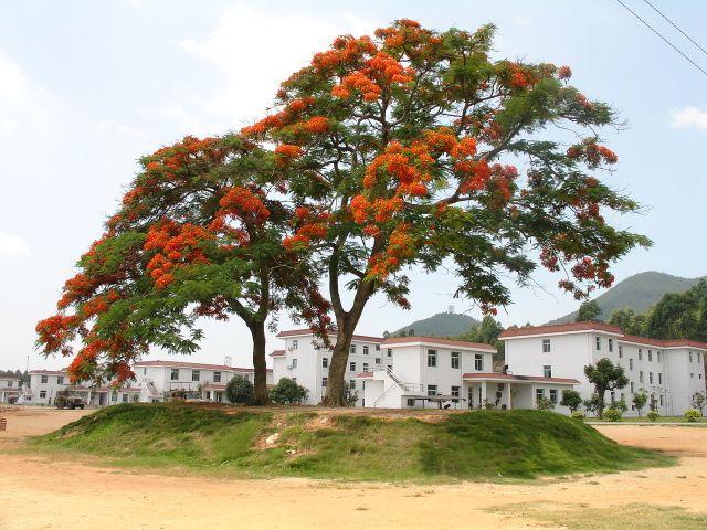 营区凤凰树